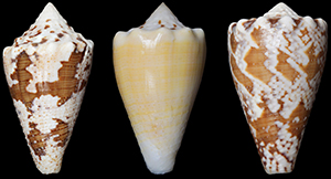 An Alternative to Opioids? Compound from Marine Snail Is a Potent Pain Reliever